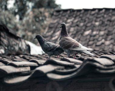 de koning en het duivenmeisje