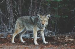 Wolf - verhalenverteller Kaj van der Plas
